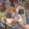 Puppies from Le-Pash Shahrijar и Uindi Red Smooth