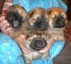 Chow-chow puppies from Le-Pash Shahrijar and Arlayn Letty Victoria, born 20.11.2011