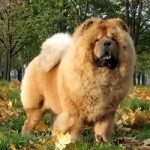 Letty Shine chow-chow kennel